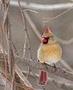 Free Female Cardinal Stock Photo - 30272820