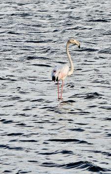 Free Flamingo Royalty Free Stock Photo - 30270955