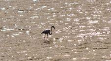 Free Flamingo Stock Photo - 30271000