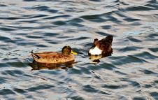 Free Duck Couple Royalty Free Stock Image - 30271046