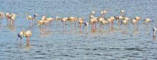 Free Flamingos Stock Photo - 30271090