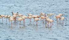 Free Flamingos Royalty Free Stock Photos - 30271098