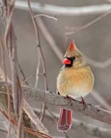 Free Female Cardinal Stock Photo - 30272820
