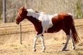 Free Brown White Horse Walking Royalty Free Stock Photo - 30288515