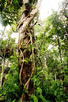 Free Rainforest Tree Stock Photo - 30281240