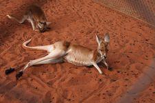 Free Kangaroo Resting Stock Images - 30284694