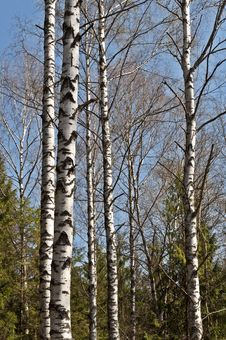 Trunks Of Birch Trees In Spring Time Royalty Free Stock Photography