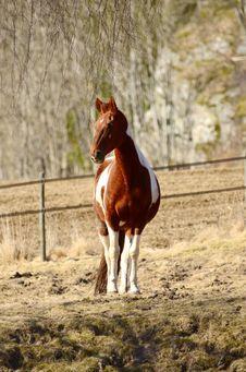 Free Brown White Horse  Posing Royalty Free Stock Image - 30288516