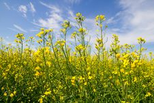 Free Rapeseed Yellow  Flowers Stock Image - 30295501