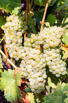 Free Grapes Royalty Free Stock Photos - 30295518