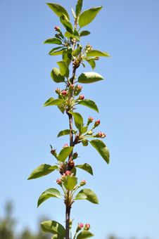 Free Flower Buds On The Apple Tree. Royalty Free Stock Photography - 30296537