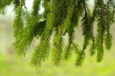 Free Pine Needles Royalty Free Stock Image - 30296746