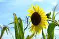 Free Single Sunflower In Corn Field Royalty Free Stock Image - 3030656