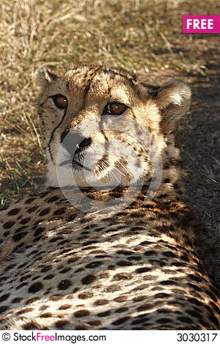 Free Cheetah Lying In The Shade Royalty Free Stock Photography - 3030317