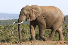 Free Elephant Bull Up Close Royalty Free Stock Photography - 3030037