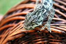 Free Chameleon Royalty Free Stock Photo - 3030065