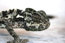 Free Chameleon Royalty Free Stock Photography - 3030167