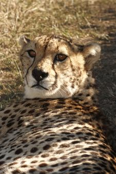 Cheetah Lying In The Shade Royalty Free Stock Photography