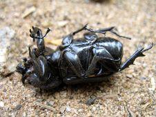 Free Overturned Beetle Royalty Free Stock Photo - 3032105
