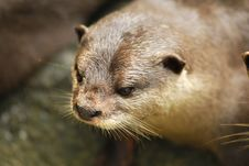 Free Cute Otter Stock Photos - 3032253