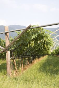 Free Grape Fields In Italy Royalty Free Stock Images - 3033129