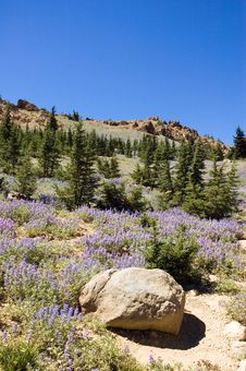 Free Sky Lupine Royalty Free Stock Image - 3034246