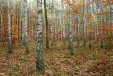 Fall In Forest Stock Image