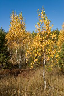 Free Autumn Birch Tree Stock Images - 3034784