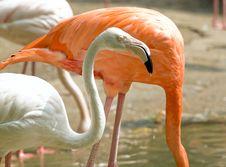 Free Colorfull Chilean Flamingos Stock Image - 3037851