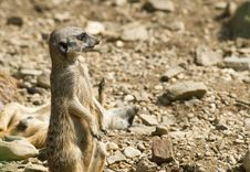 Free Meerkats Royalty Free Stock Photo - 3037885