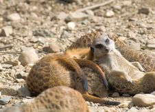 Free Meerkats Stock Image - 3037951