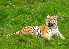 Free Tiger Royalty Free Stock Photo - 3037955