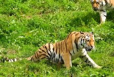 Free Tiger Stock Images - 3038054