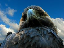 Free Eagle Stock Photo - 3038150