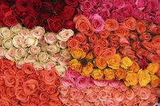 Free Roses Royalty Free Stock Photos - 30302358