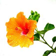 Hibiscus Flowers. Royalty Free Stock Photos