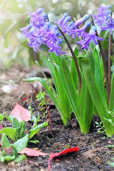 Free Purple Hyacinths In The Garden Stock Image - 30305491