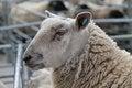 Free Wool Sheep. Royalty Free Stock Photos - 30314118