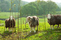Free Sheeps In Green Field. Stock Photography - 30315792
