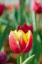 Free Red-yellow Tulip Royalty Free Stock Photos - 30317438