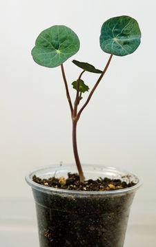 Free Nasturtium Seedling Royalty Free Stock Images - 30310199