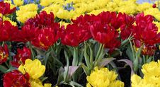 Free Tulips Royalty Free Stock Photography - 30312647