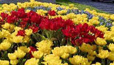 Free Tulips Stock Photography - 30313142