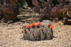 Free Cactus Flower Royalty Free Stock Photography - 30314837
