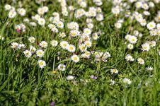 Free White Daisy Stock Photography - 30317362