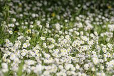Free White Daisy Stock Images - 30317364