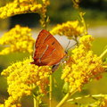 Free Yellow Butterfly Royalty Free Stock Photos - 30338598