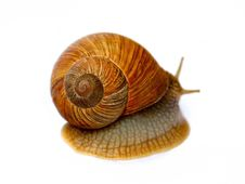Free Snail Royalty Free Stock Image - 30338416
