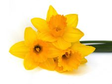Yellow Daffodils Royalty Free Stock Photography
