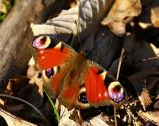 Free Butterfly Royalty Free Stock Photos - 30338478
